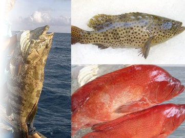 Cá mú biển