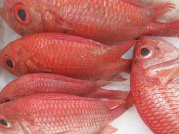Cá sơn đỏ